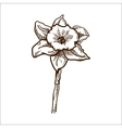 Narcissus flower isolated on white vector image