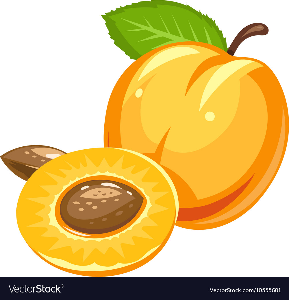 Apricot ripe juicy fruit vector