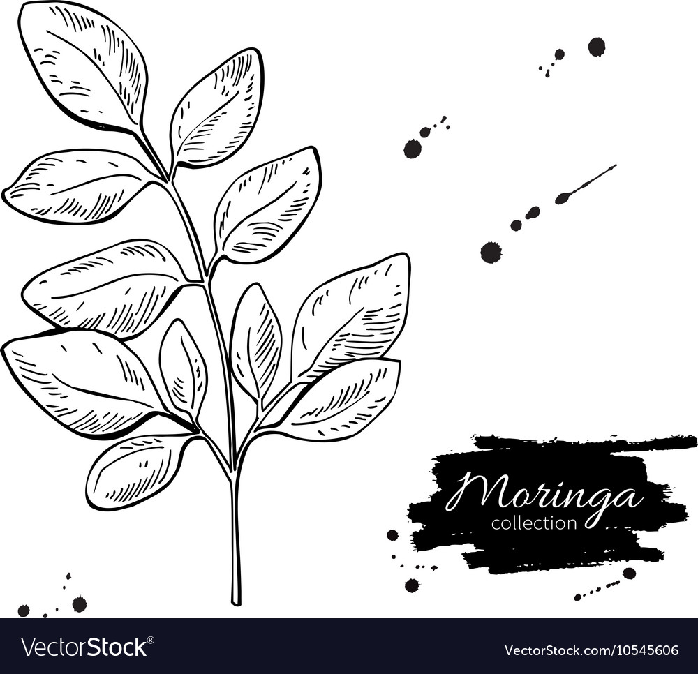 Moringa leaves superfood drawing isolated vector