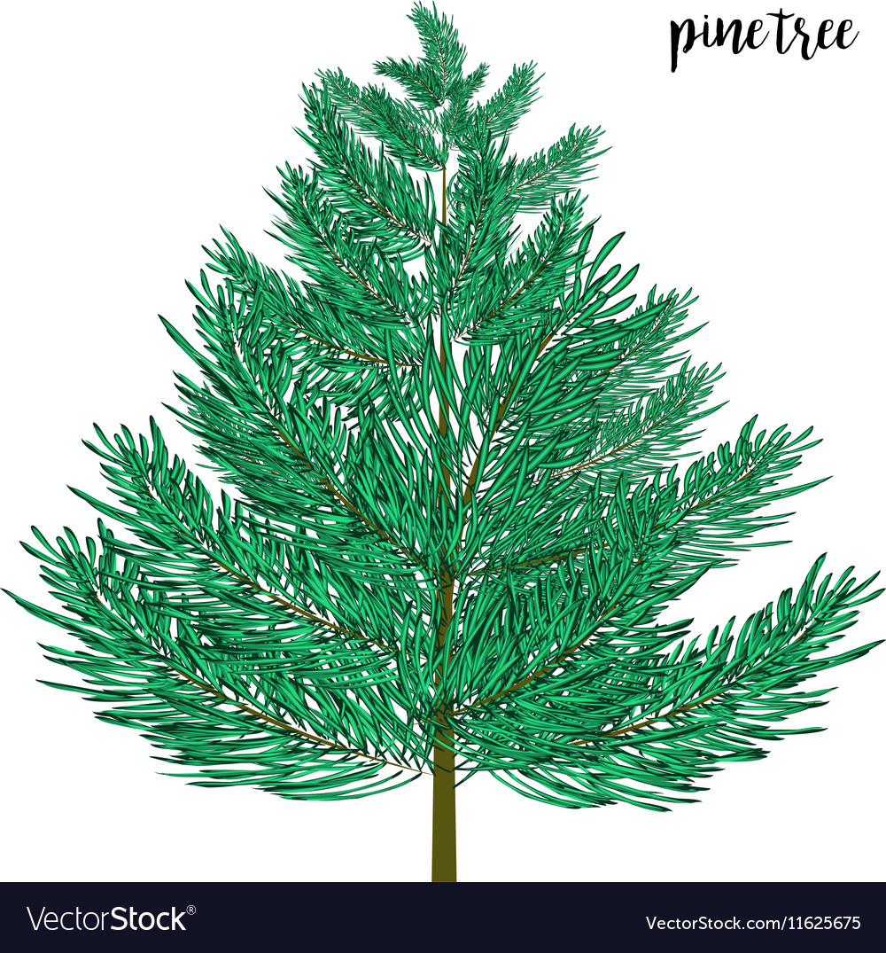 Pine tree isolated on wite vector