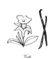 hand drawn of vanilla flower and pods vector image