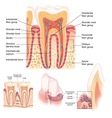 Anatomy of Teeth and Gums vector image