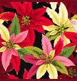 seamless poinsettia flowers vector image