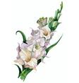 gladiolus flowers painted vector image