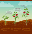 tomatoes growth and planting stages flat vector image