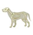 Canis lupus familiaris - skeleton vector image