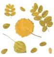 Autumn rowan birch or Betula aspen Populus vector image