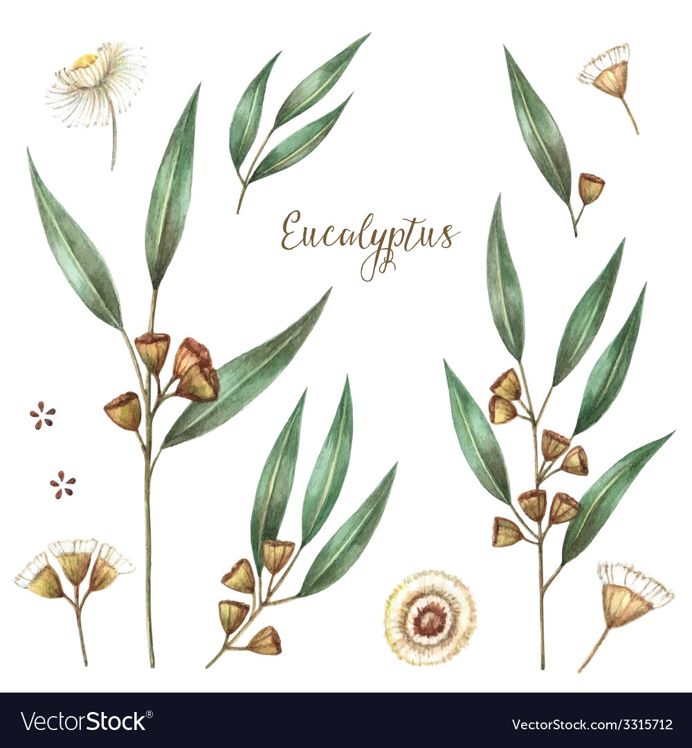 Watercolor eucalyptus vector