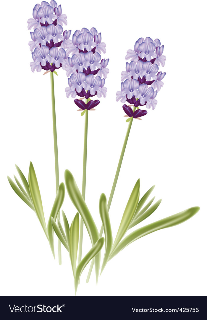 Lavender flowers vector