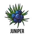 Juniper berries sketch style vector image