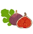 fruits and leaves of fig vector image