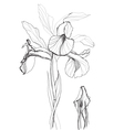 iris drawing vector image