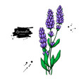 lavender drawing set isolated wild flower vector image
