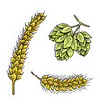 barley and wheat malt and hops beer of vector image