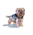 hand drawn cute yorkshire terrier dog vector image