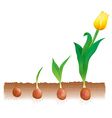 Tulip growth vector image