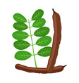 carob pods beans powder leaves superfood vector image