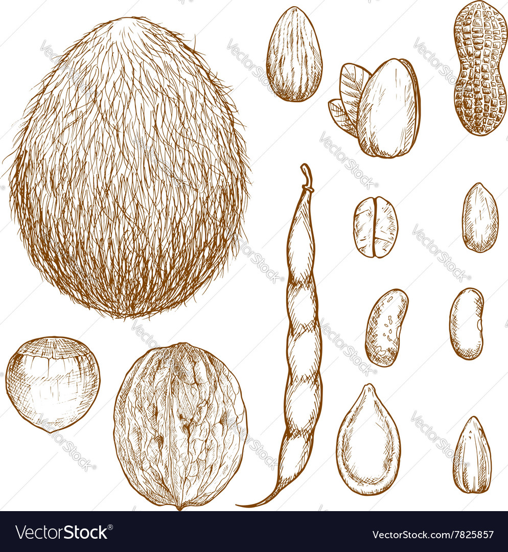 Sketches of nuts beans and seeds vector