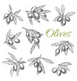 olives branches sketch icons set vector image