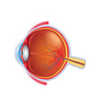 eye anatomy isolated vector image