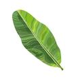 Full fresh leaf of banana palm tree vector image vector image