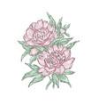 peonies hand draw of flower vector image