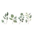 eucalyptus seeded silver dollar tree leaves vector image