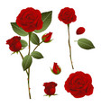beautiful red rose - rosa valentine day vector image