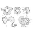 development of cerebellum vintage vector image