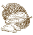 engraving durian fruit vector image
