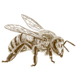 engraving honey bee vector image