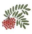 Rowan branch with berries for your design vector image vector image