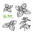 basil plant and leaves hand drawn vector image