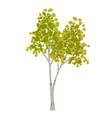hand drawn aspen birch tree vector image