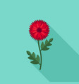 chrysanthemum flower icon vector image