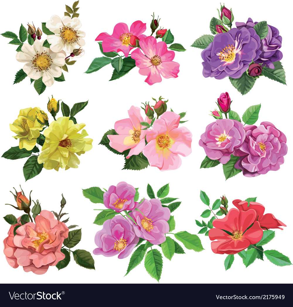 Set of colorful flowers of wild rose vector
