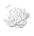 Cauliflower hand drawn ink sketch vector image vector image