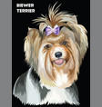 colorful biewer terrier image vector image