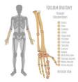 male forearm bones anatomy vector image