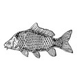 Carp fish engraving style vector image