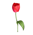 red tulip flower isolated on white background vector image