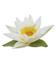 water lily on white background vector image
