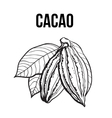 Hand drawn ripe cacao fruit hanging on a branch vector image