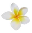 Balinese flower frangipani vector image