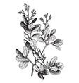 anacardium occidentale vintage vector image