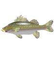 sea bass vector image