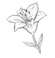 black ink lily vector image vector image
