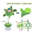 photosynthesis process diagram vector image