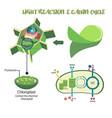 photosynthesis process diagram vector image