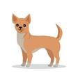 Chihuahua Dog Breed Flat Design vector image